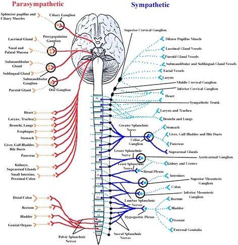 自律神経系